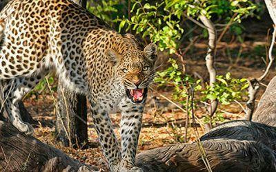 Leopardo 400x250 Vacaciones Singles
