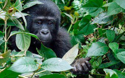 gorilas uganda 400x250 Vacaciones Singles