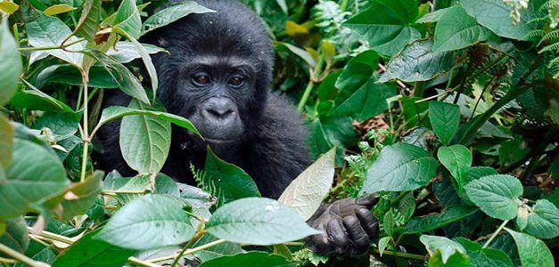 Gorilas en la Niebla 2020