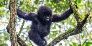 Uganda Gorilas