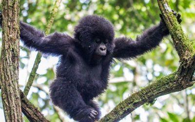 Uganda Gorilas 400x250 Vacaciones Singles