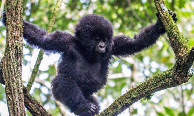 Uganda Gorilas 627x376 Viajes Singles a África